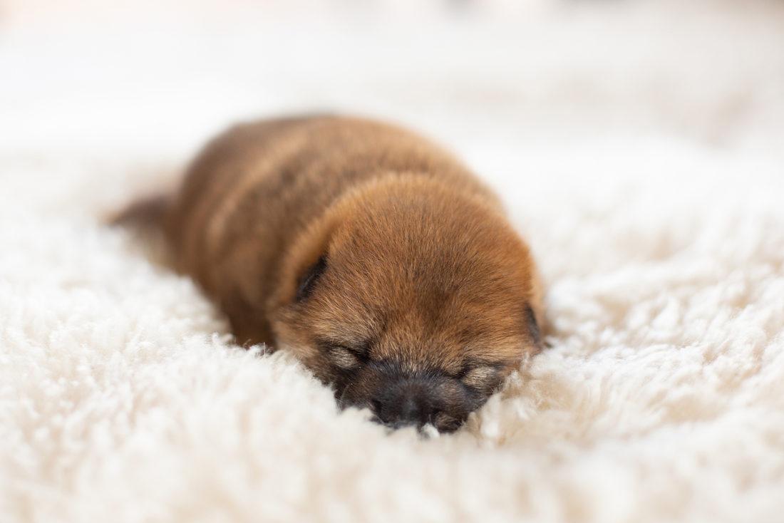 Shiba Hundebetten